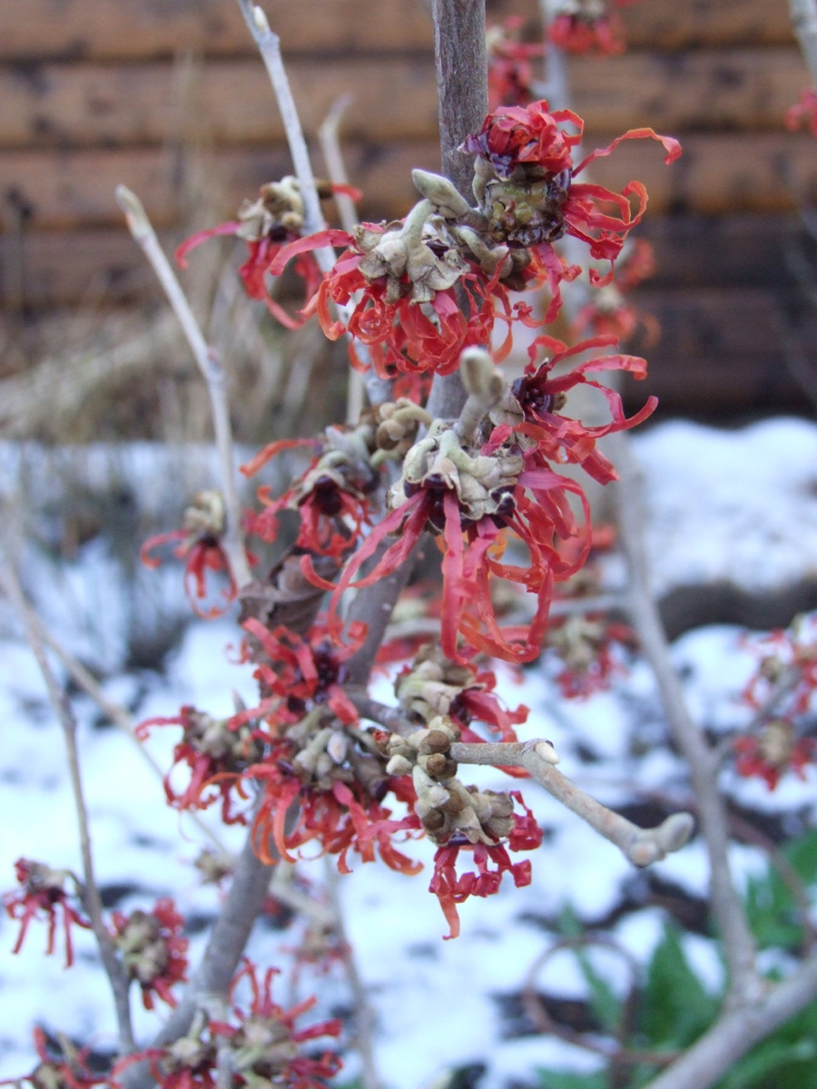 January 2018 Hamamelis flowers