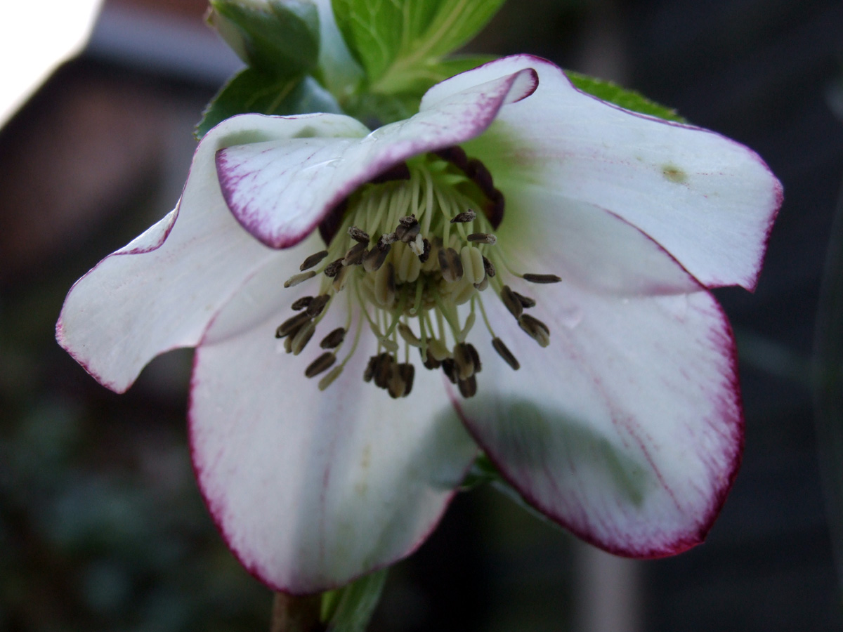 January 2018 Hellebore flower