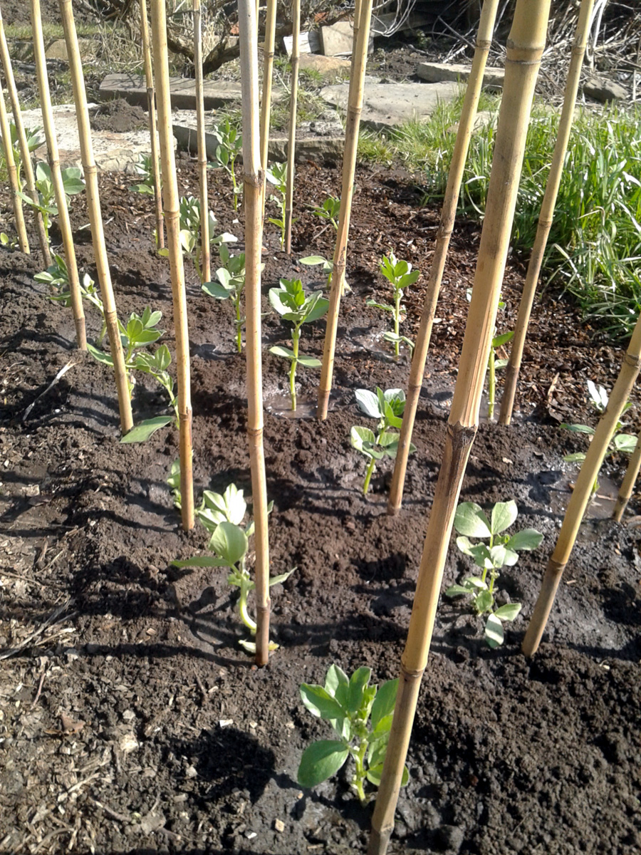 February 2018 - broad beans planted out
