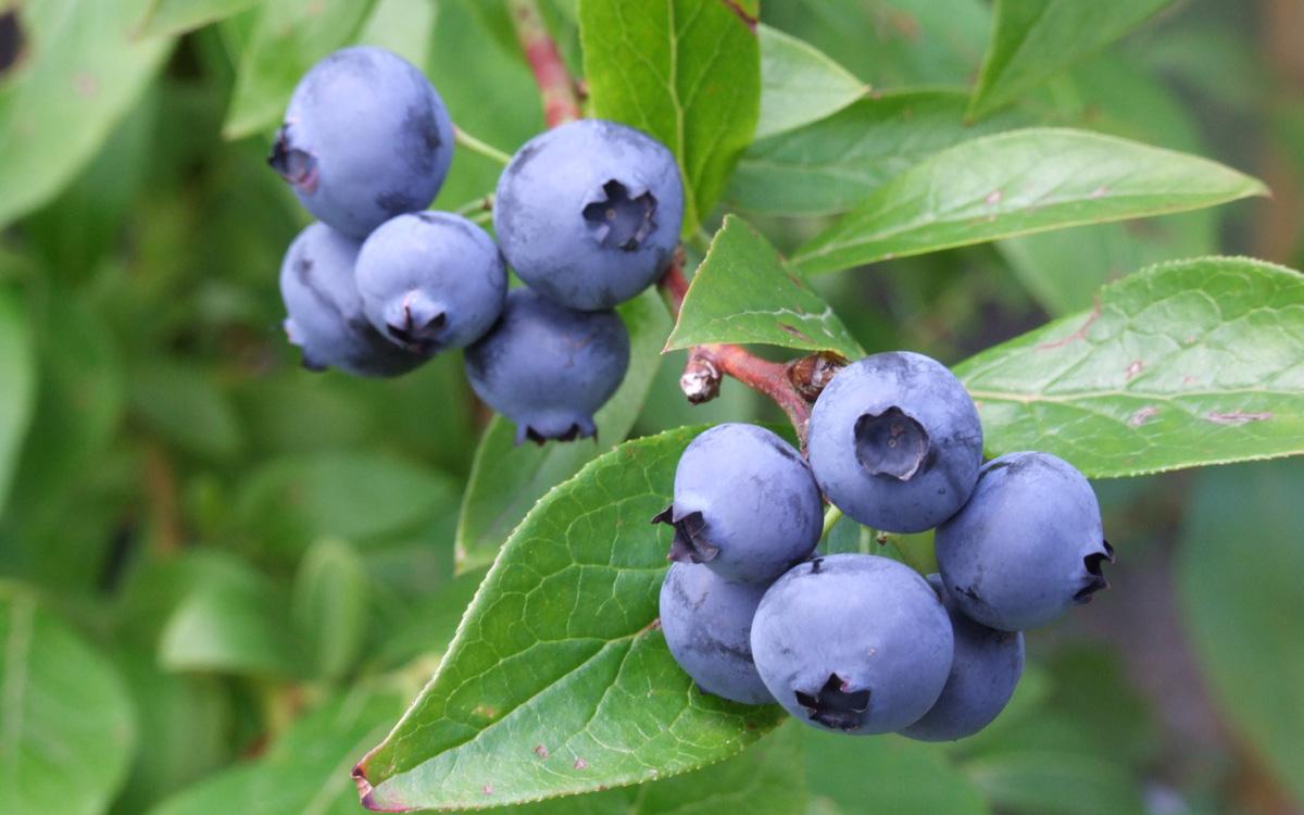 Backyard blueberries