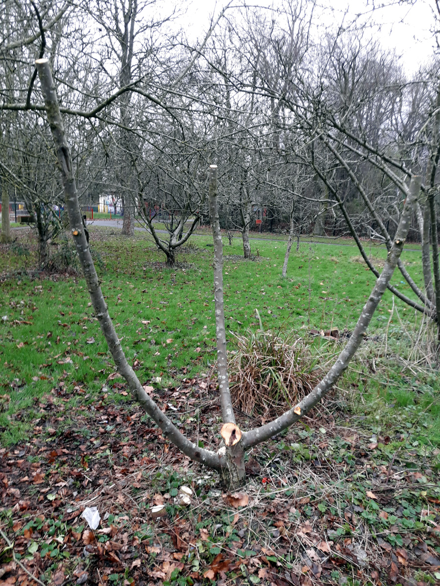 January 2019 Malus domestica pruned for grafting