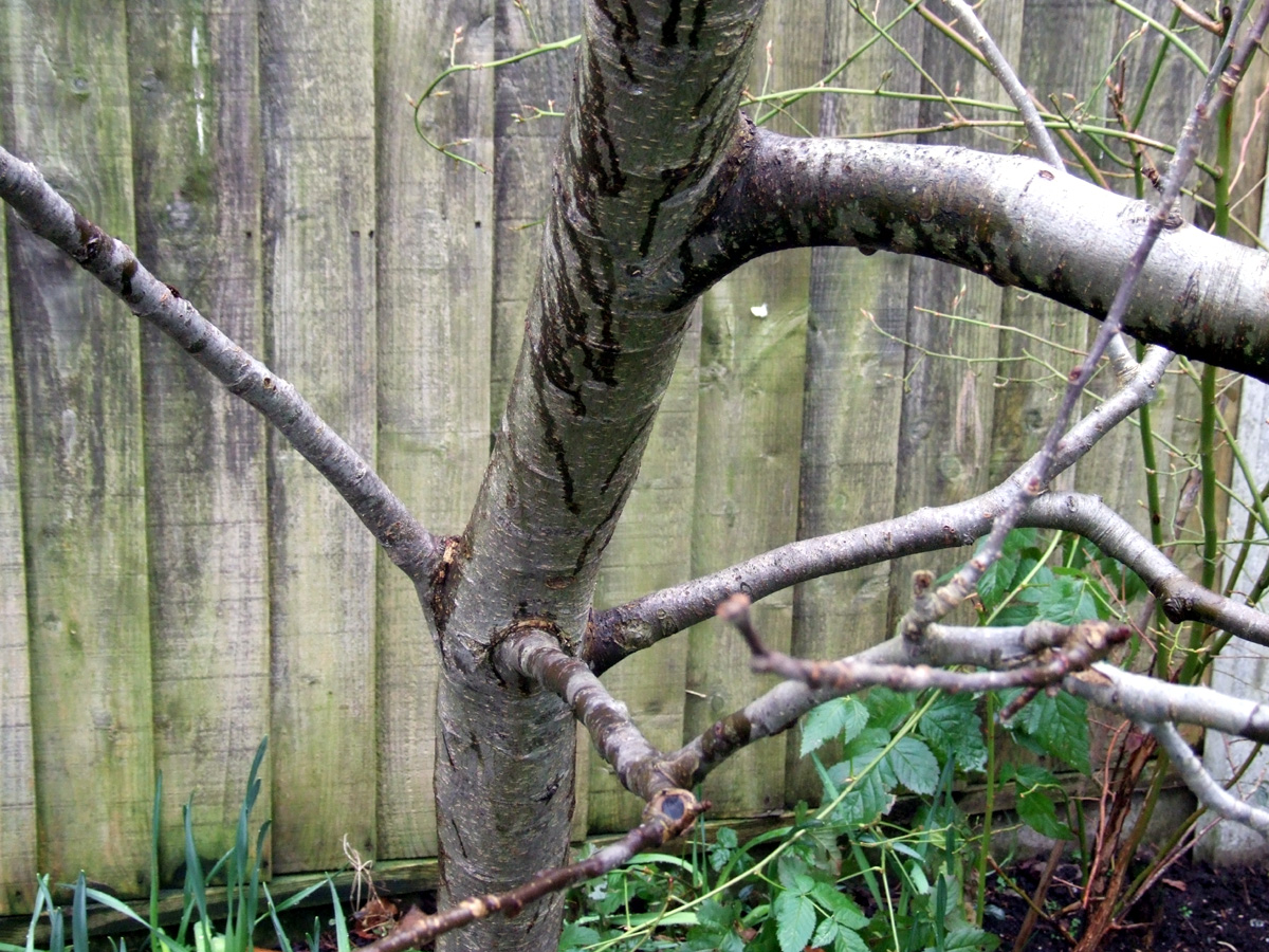 Jan 2019 lower branches before pruning