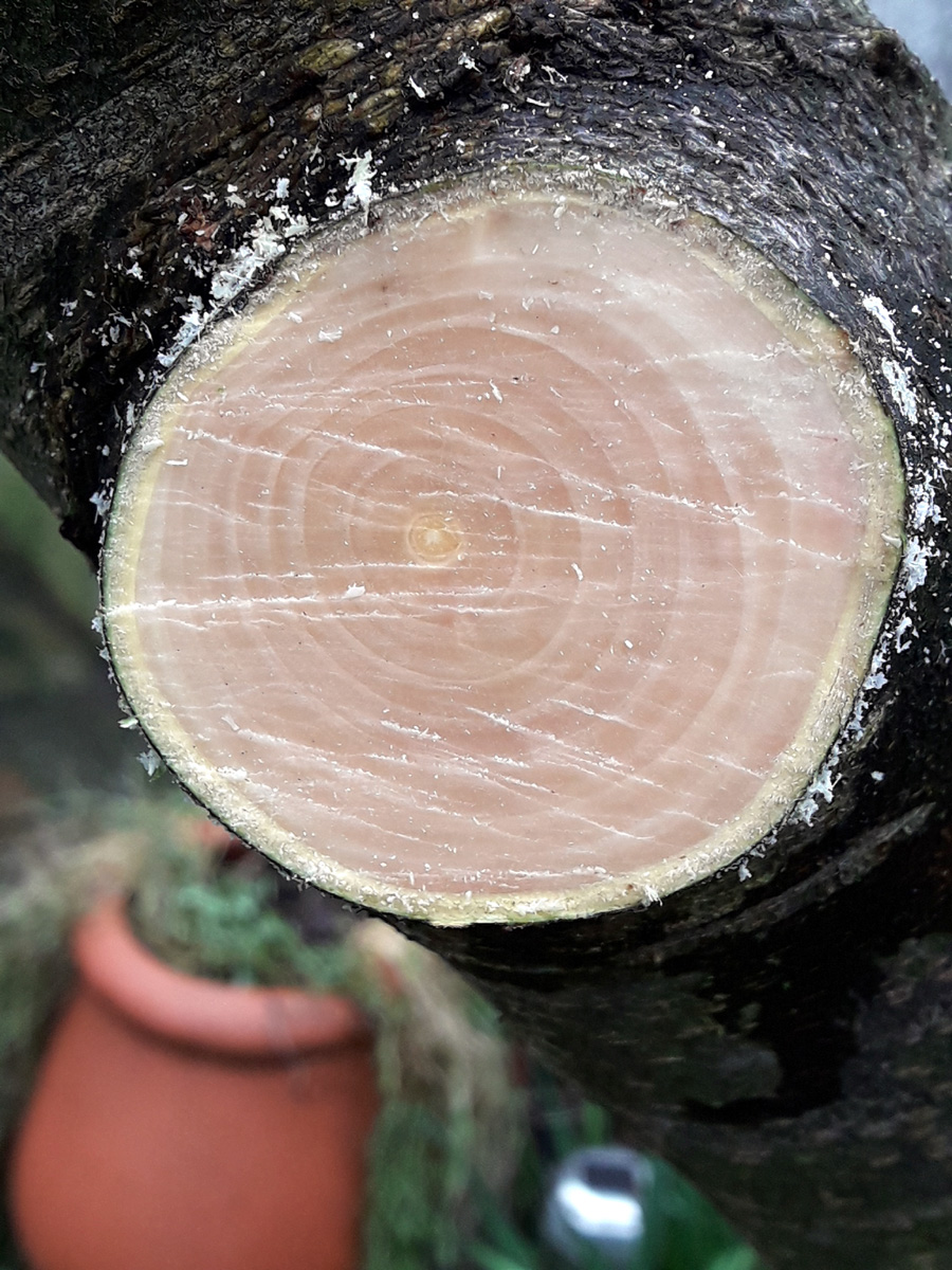 Jan 2019 pruning cut close-up