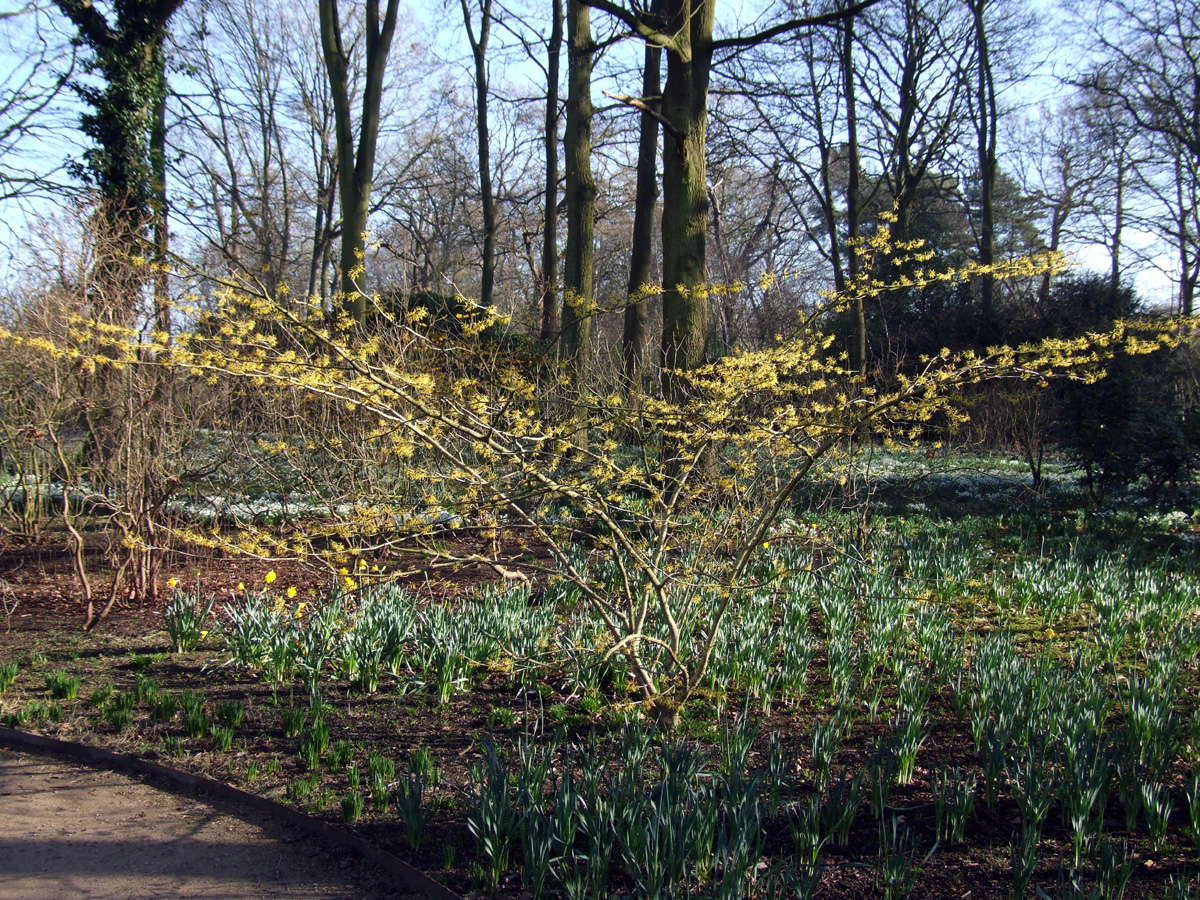 20190215 Dunham Massey Hamamelis yellow