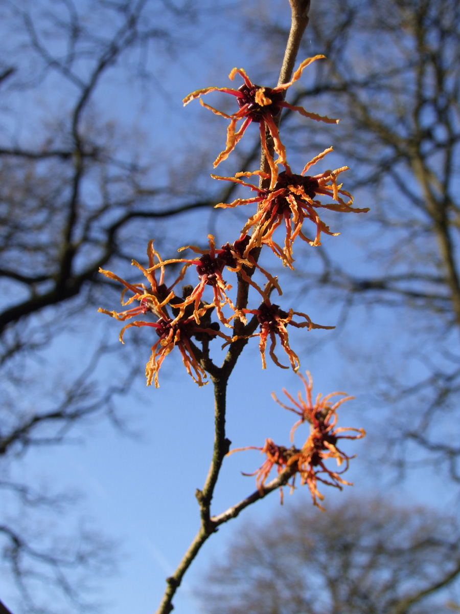 20190215 Dunham Massey Hamamelis orange