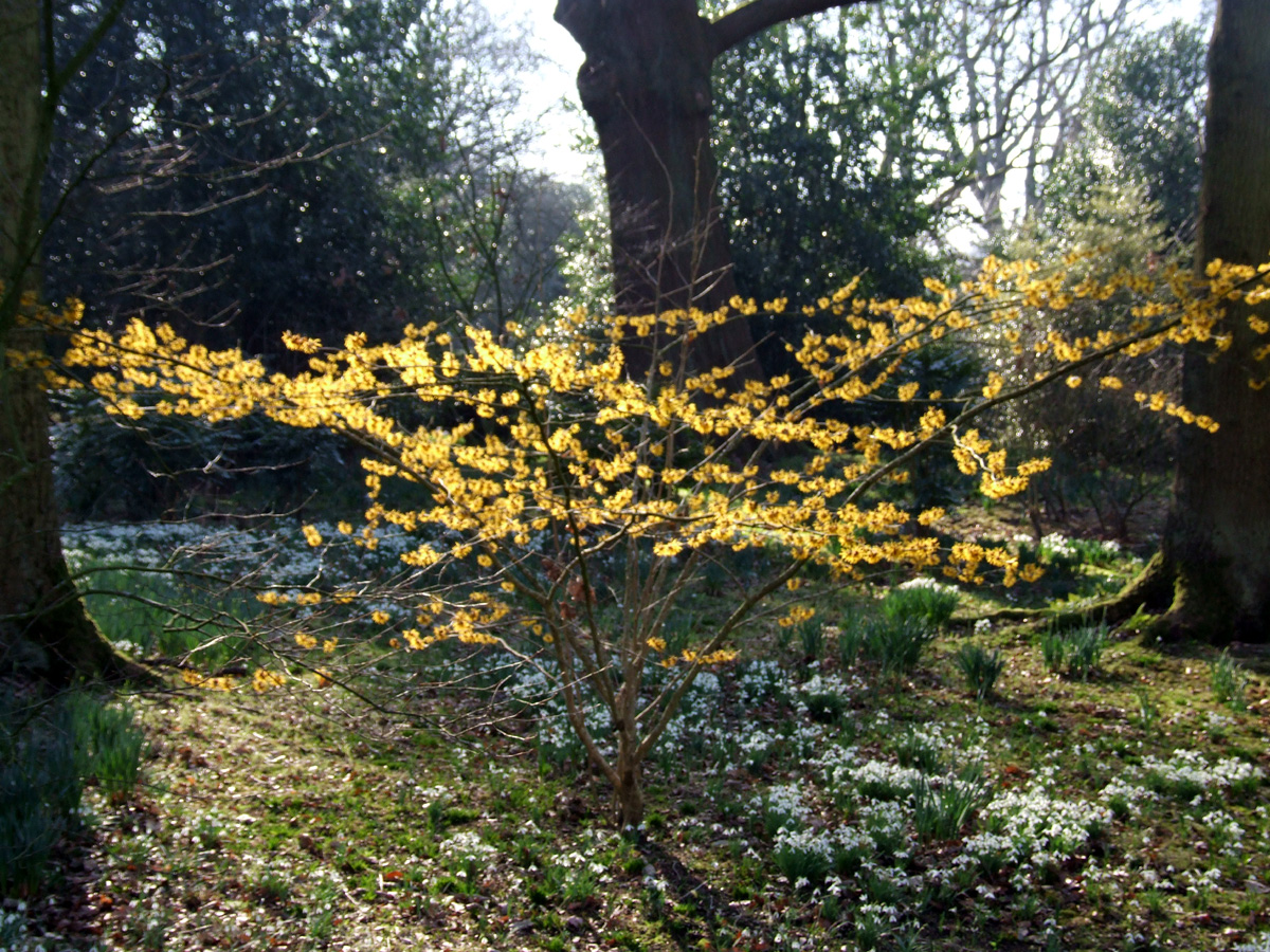 20190215 Dunham Massey Hamamelis soft focus