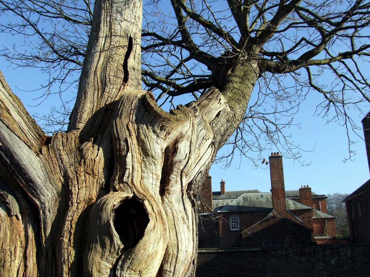 20190215 Dunham Massey ancient oak