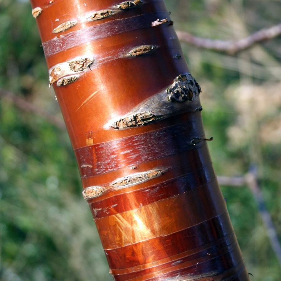 20190215 Dunham Massey copper bark