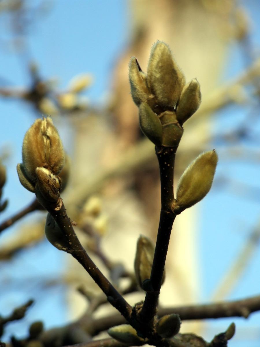 20190215 Dunham Massey Magnolia buds