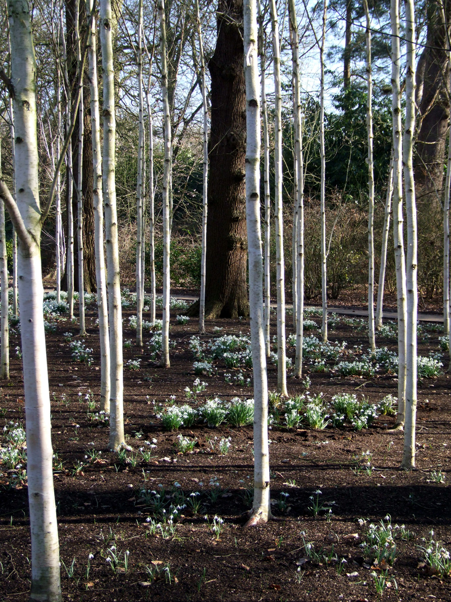 20190215 Dunham Massey Betula pendula single stem group