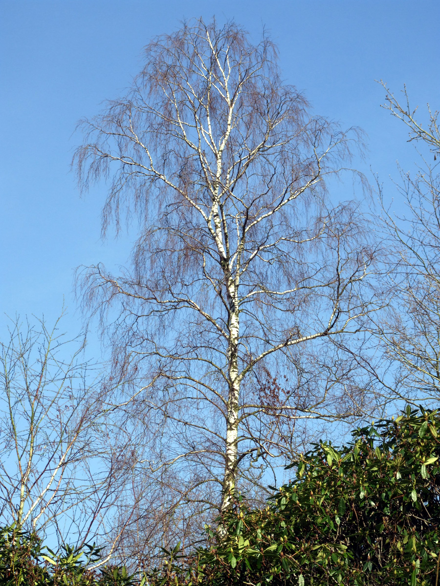 20190215 Dunham Massey Birch on Blue