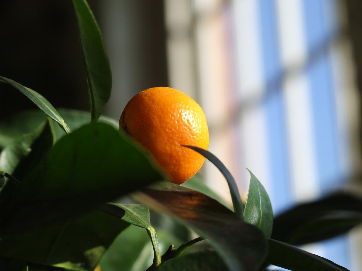 20190215 Dunham Massey Citrus