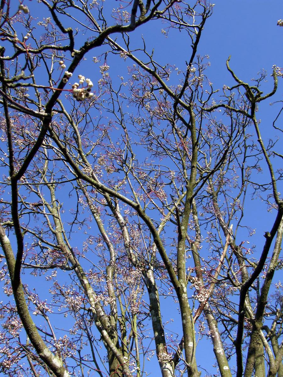 20190215 Dunham Massey Sorbus and sky