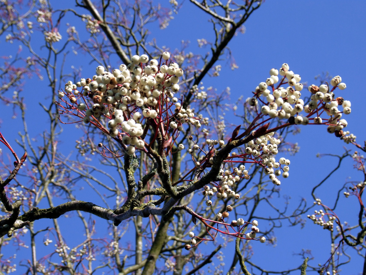 20190215 Dunham Massey Sorbus fruit
