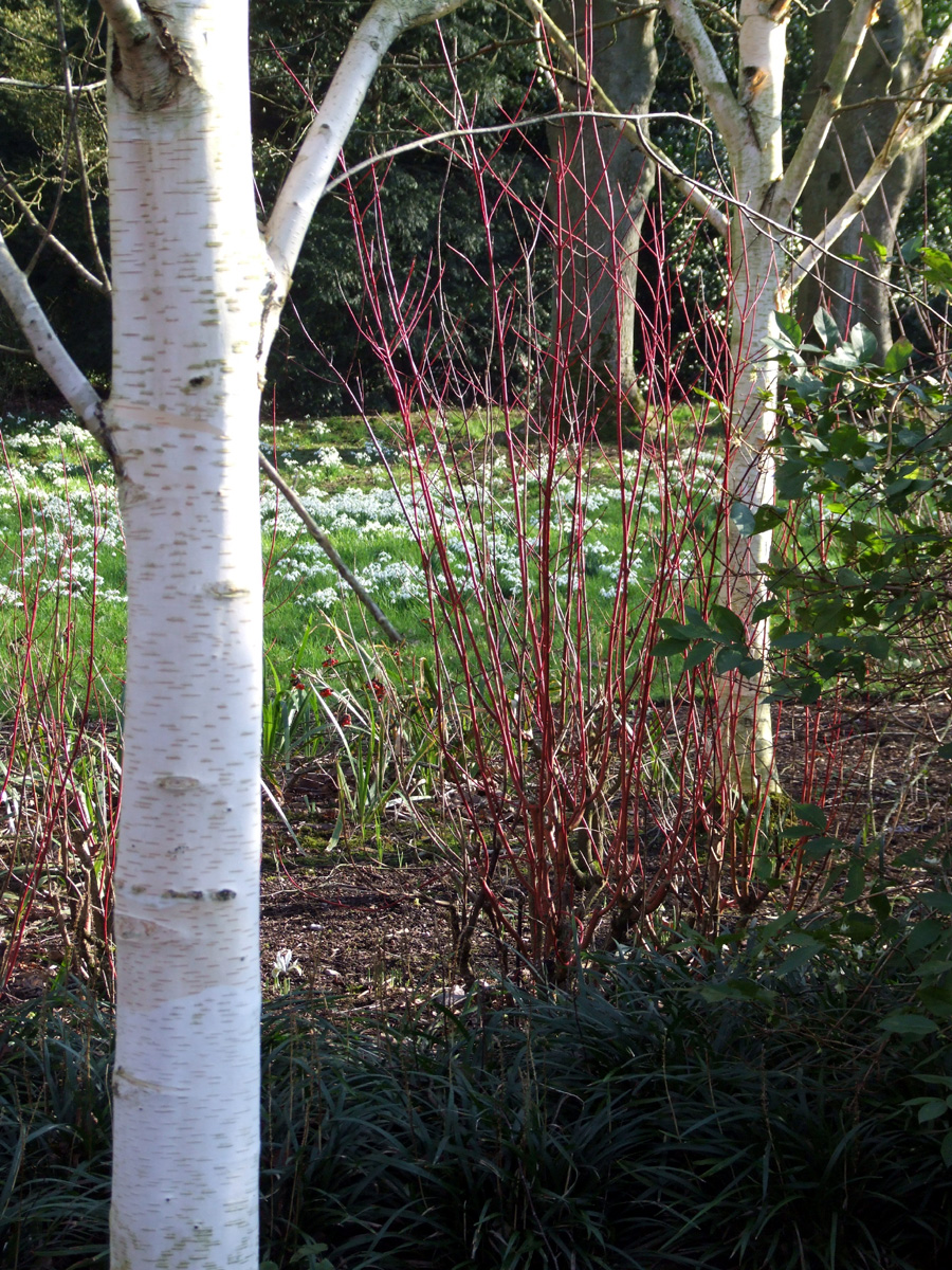20190215 Dunham Massey Dogwood and Bark
