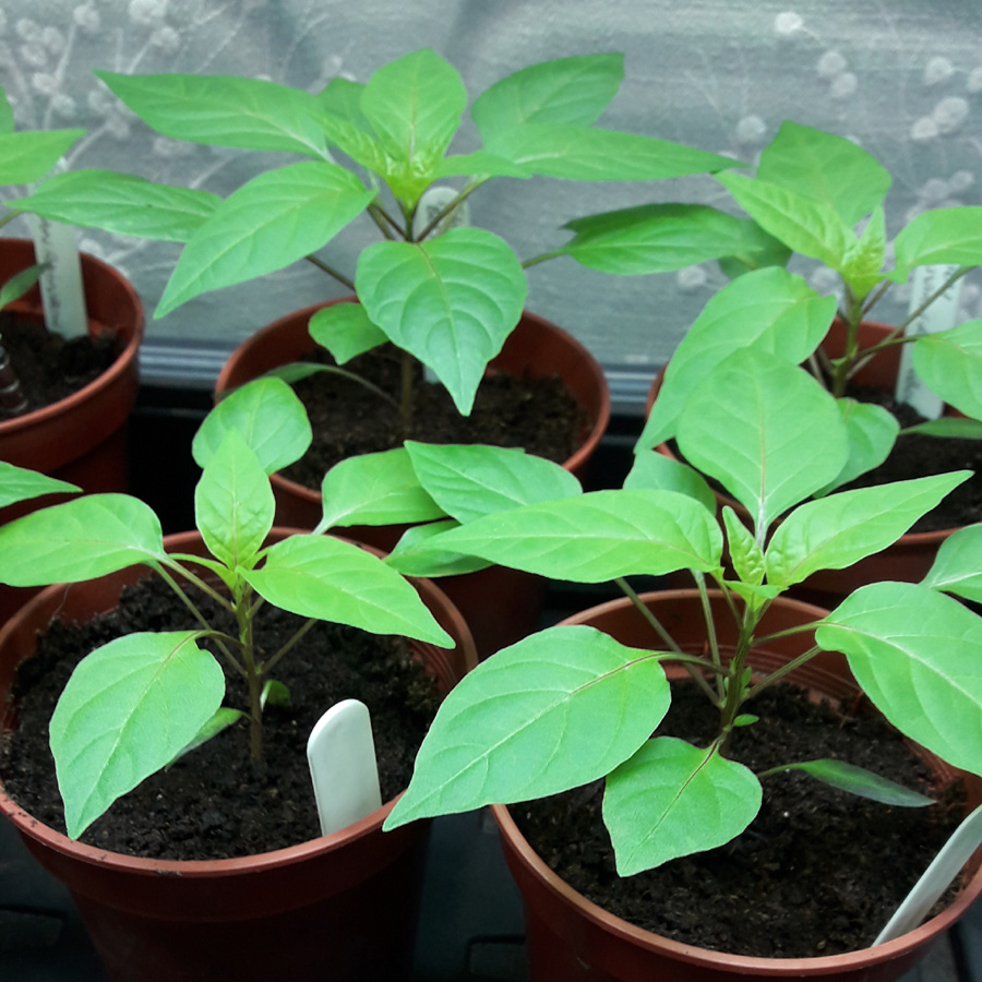 March 2019 strong chilli plants